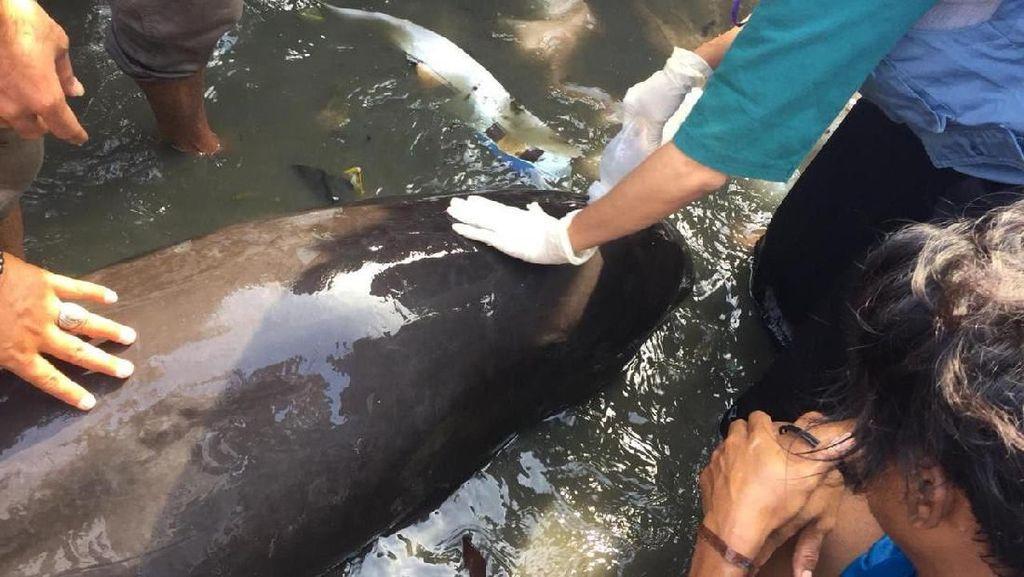Lumba-lumba Terluka Terdampar di Pantai Sappoang Sulbar