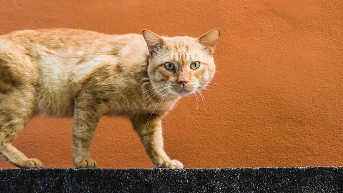 Apa iya kucing oranye identik dengan aksi sangar, sebagaimana viralnya kocheng oren barbar? (Foto: Photo by Danny Trujillo on Unsplash)