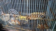 Polda Jatim Lepasliarkan Komodo Hasil Ungkap Perdagangan Satwa Liar Ilegal