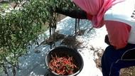 Cabai Segar Mahal, Emak-emak Terpaksa Konsumsi Cabai Kering