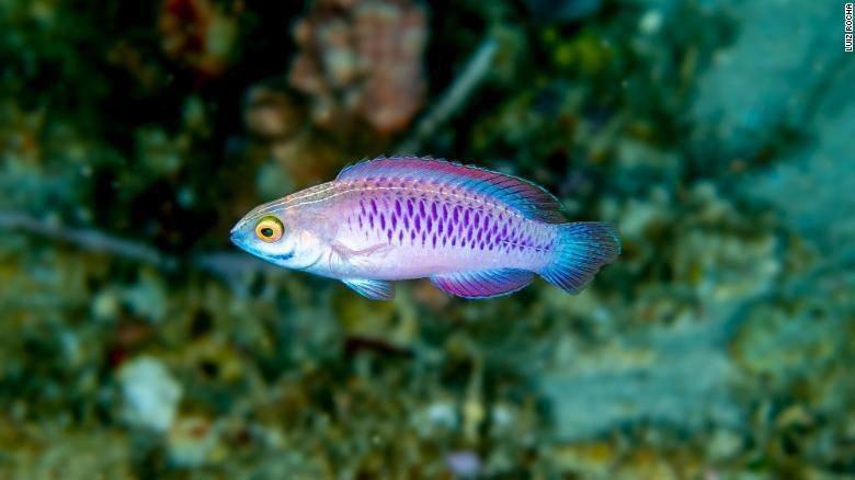 Ikan Wakanda (Istimewa)