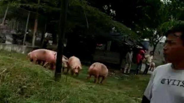 Truk Angkut Babi Terbalik di Kawasan Industri Medan, Pengguna Jalan Heboh