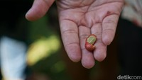 Setiap 12 ton biji kopi basah dihasilkan tiap tahun dan hanya menghasilkan 3 ton biji kopi kering. Yakni 4:1 perbandingannya (Ahmad Masaul Khoiri/detikcom)
