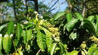 Lahan kopi di MesaStila 90 persen berjenis robusta. Panennya hanya setahun sekali (Ahmad Masaul Khoiri/detikcom)