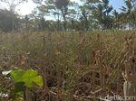 Dampak Kekeringan, Lahan Cabai 2.500 Hektare di Blitar Gagal Panen