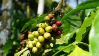 Ada eduwisata unik di pinggiran Kabupaten Magelang, yakni agrowisata Coffee Plantation Tour di Resor MesaStila (Ahmad Masaul Khoiri/detikcom)