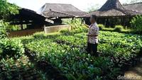 Satu pohon kopi bisa menghasilkan 10 kilogram biji. Kini ada program peremajaan pohon kopi yang sudah tak terlalu bagus produksinya (Ahmad Masaul Khoiri/detikcom)