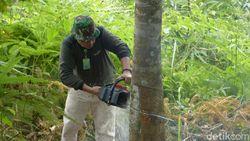 3.000 Pohon Karet Ilegal di Lahan TN Gunung Leuser Ditebang