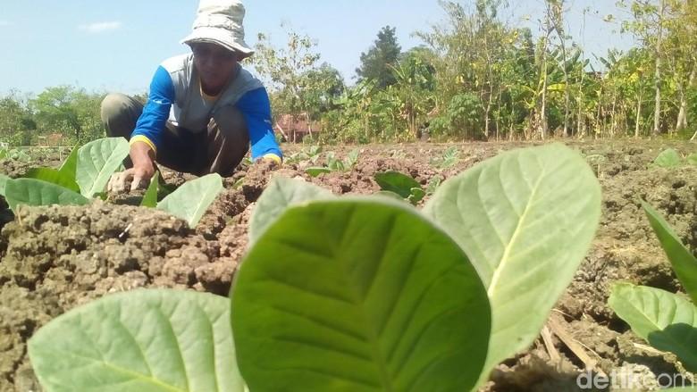 Kemarau, Petani Grobogan Pilih Tanam Tembakau daripada Jagung