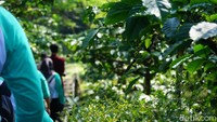 Dalam paket menginap, ada Coffee Plantation Tour yang dapat diikuti secara gratis. Tur ini selama 45-60 menit mengelilingi kebun kopi milik Resor MesaStila (Ahmad Masaul Khoiri/detikcom)