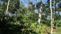 Untuk diketahui, area Resor MesaStila ada di ketinggian 687 mdpl. Ada sebanyak 30-35 ribu pohon kopi di sana dan ada yang berumur 70 tahun (Ahmad Masaul Khoiri/detikcom)