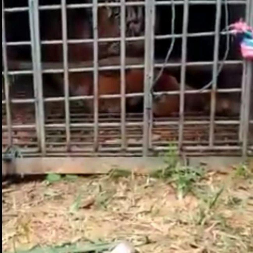 Harimau yang Ditangkap di Padang Lawas akan Dioperasi