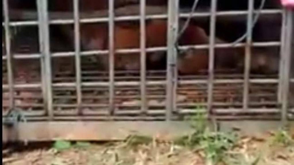Harimau Sumatera yang Resahkan Warga Ditangkap di Padang Lawas Sumut
