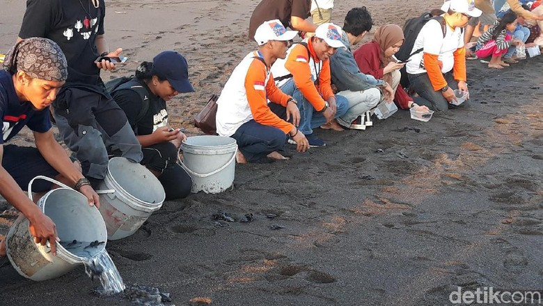 Biar Tak Punah, Anak Penyu Dilepasliarkan di Pantai Samas