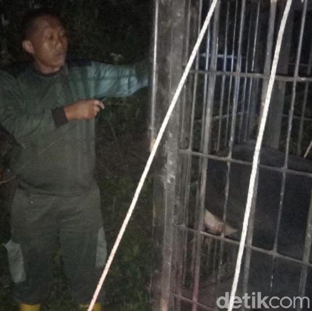 BKSDA Lepaskan Beruang Madu yang Kena Jerat Perangkap Babi di Sumbar