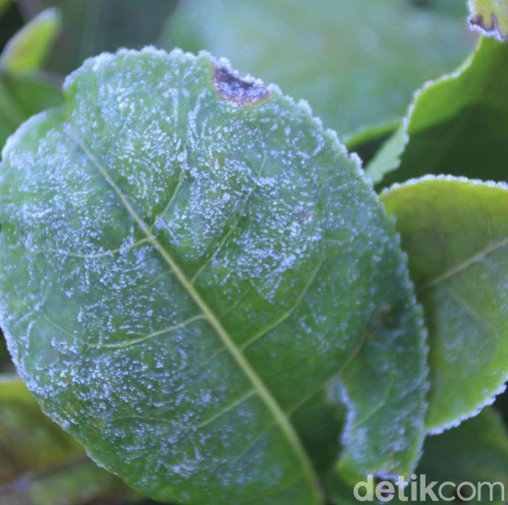 Suhu Bandung Dingin, Rumput dan Kebun Teh di Kertasari Berembun Es