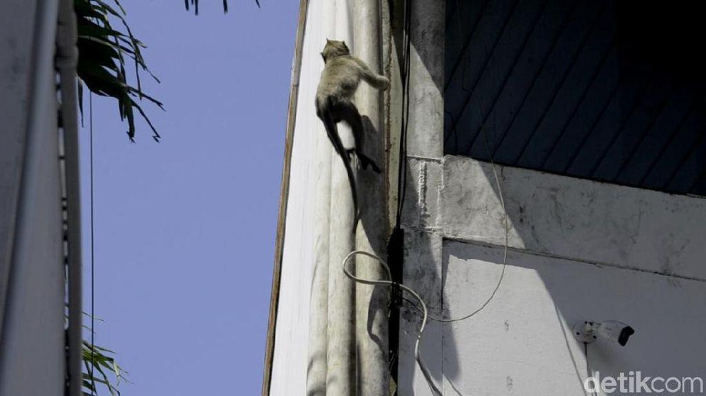 Warga Pekalongan Keluhkan Monyet-monyet Nyasar di Permukiman