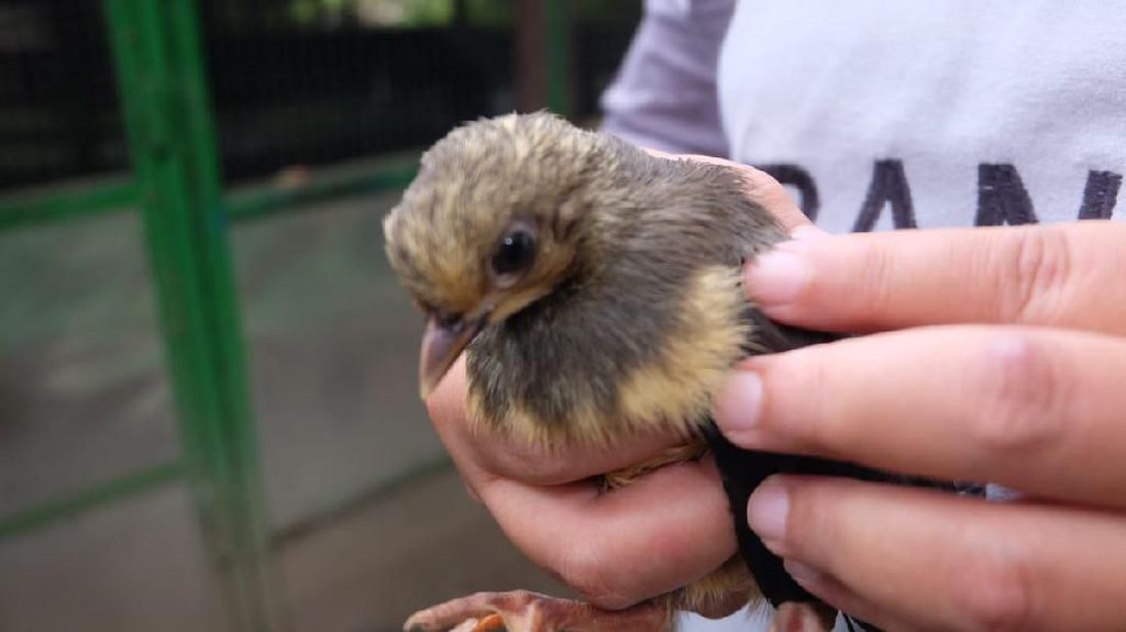Melestarikan Burung Maleo yang Hampir Punah di Bone Bolango