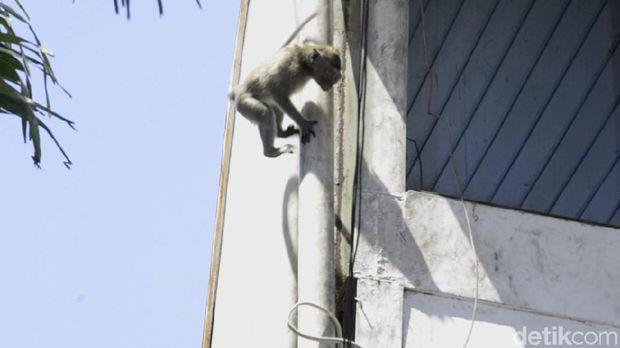 Monyet ekor panjang yang dilaporkan warga di Pekalongan.