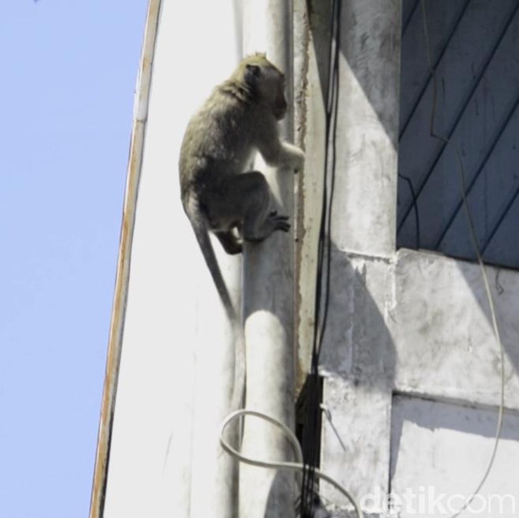 2 Monyet Bersarang di Plafon Showroom Mobil, Damkar Turun Tangan