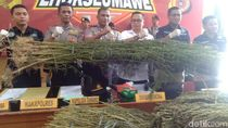 Polisi Tangkap 2 Pemilik 5 Hektare Ladang Ganja di Aceh Utara