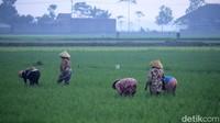 Meski suhu udara cukup dingin, hal tersebut tak menghentikan aktivitas para petani yang ada di wilayah tersebut untuk tetap bertani.
