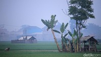 Ada petani menabur pupuk, membenahi saluran air, dan membersihkan padi yang baru tumbuh dari tumbuhan ganggang.