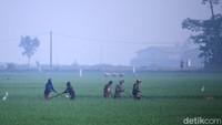 Suhu dingin yang terjadi di sejumlah wilayah di Bandung selama beberapa waktu terakhir membuat area persawahan di wilayah Solokoanjeruk, Kabupaten Bandung, Jawa Barat, diselimuti kabut.