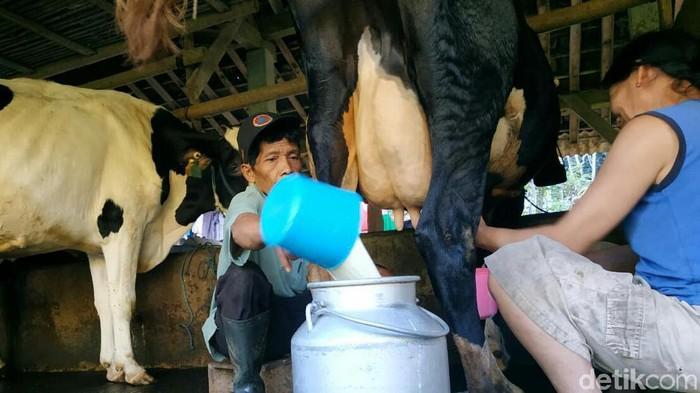 Perlu tidaknya manusia minum susu sapi sejak lama jadi perdebatan. (Foto: Adhar Muttaqin)