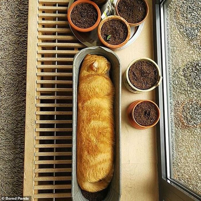 Kucing yang tengah tidur siang ini sekilas mirip seperti roti yang baru saja keluar dari oven. Lengkap dengan pot berisi tanah, yang mirip seperti cokelat. Foto: Boredpanda