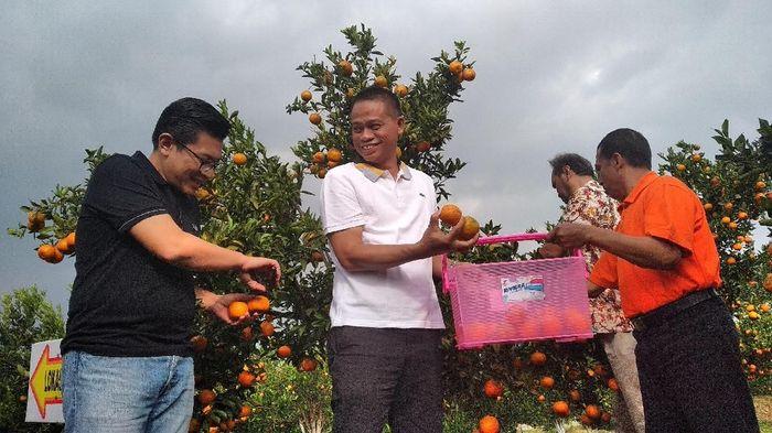 Panen jeruk di Kota Batu-Jawa Timur/Foto: Muhammad Aminudin/detikcom