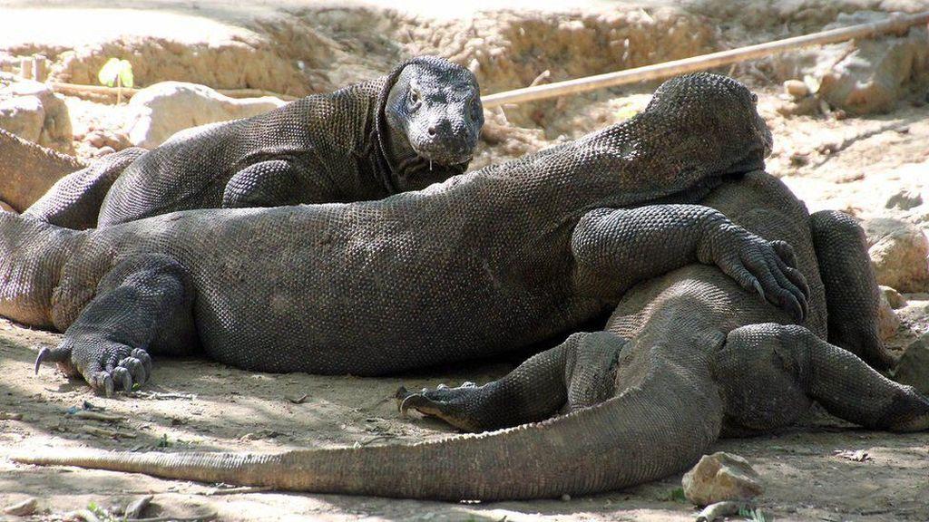 Pulau Komodo: Antara Ciptakan Wisata Reptil Liar dan Pisahkan Saudara Sedarah