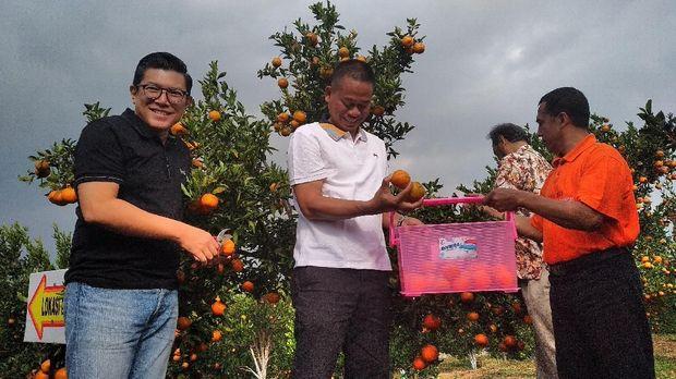 Panen jeruk di Kota Batu-Jawa Timur