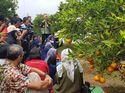 Peneliti Kementan Ciptakan Jeruk Berbuah Sepanjang Tahun