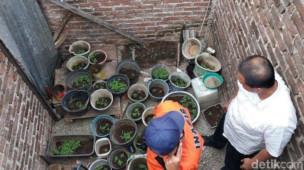 Polisi Tangkap Warga Pemilik Taman Berisi 32 Pot Ganja di Bandung