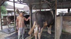 Video Sapi Tyson Berbobot 1 Ton, Hewan Kurban Jokowi di Sulbar