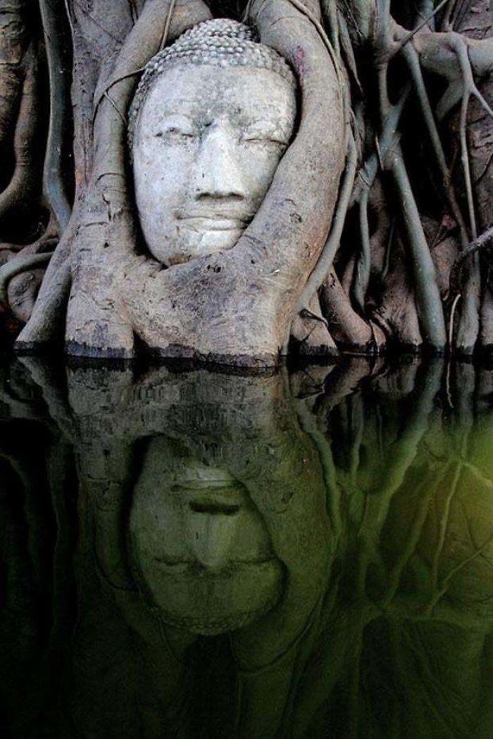 Begini potret kepala Patung Budha dimakan pohon di hutan Mangrove.