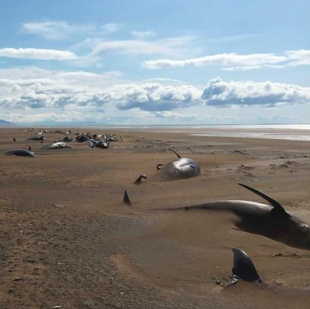 Puluhan Paus Pilot Mati Terdampar di Daratan Islandia