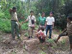 Harimau Berkeliaran di Pasaman Sumbar, 14 Ternak Warga Dimangsa