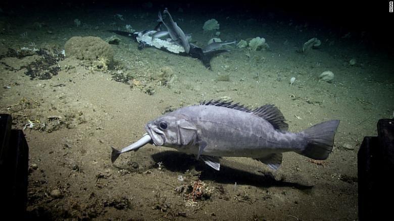 Hiu lumpur atau dogfish laut dalam dimakan wreckfish (CNN)