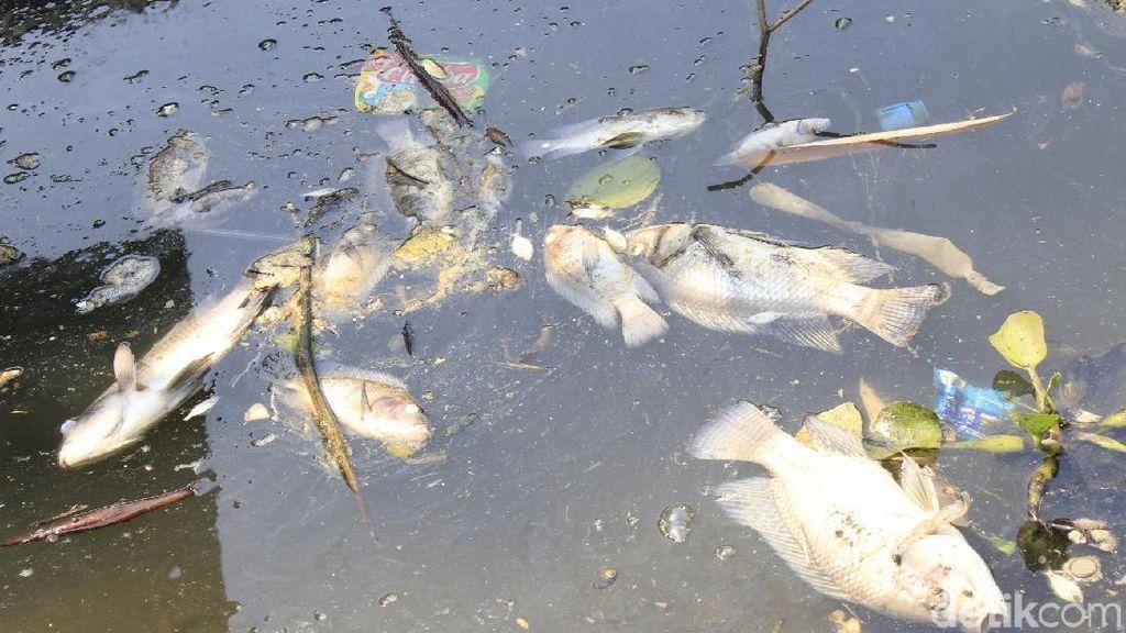 Ribuan Ikan Mati Mendadak di Saguling