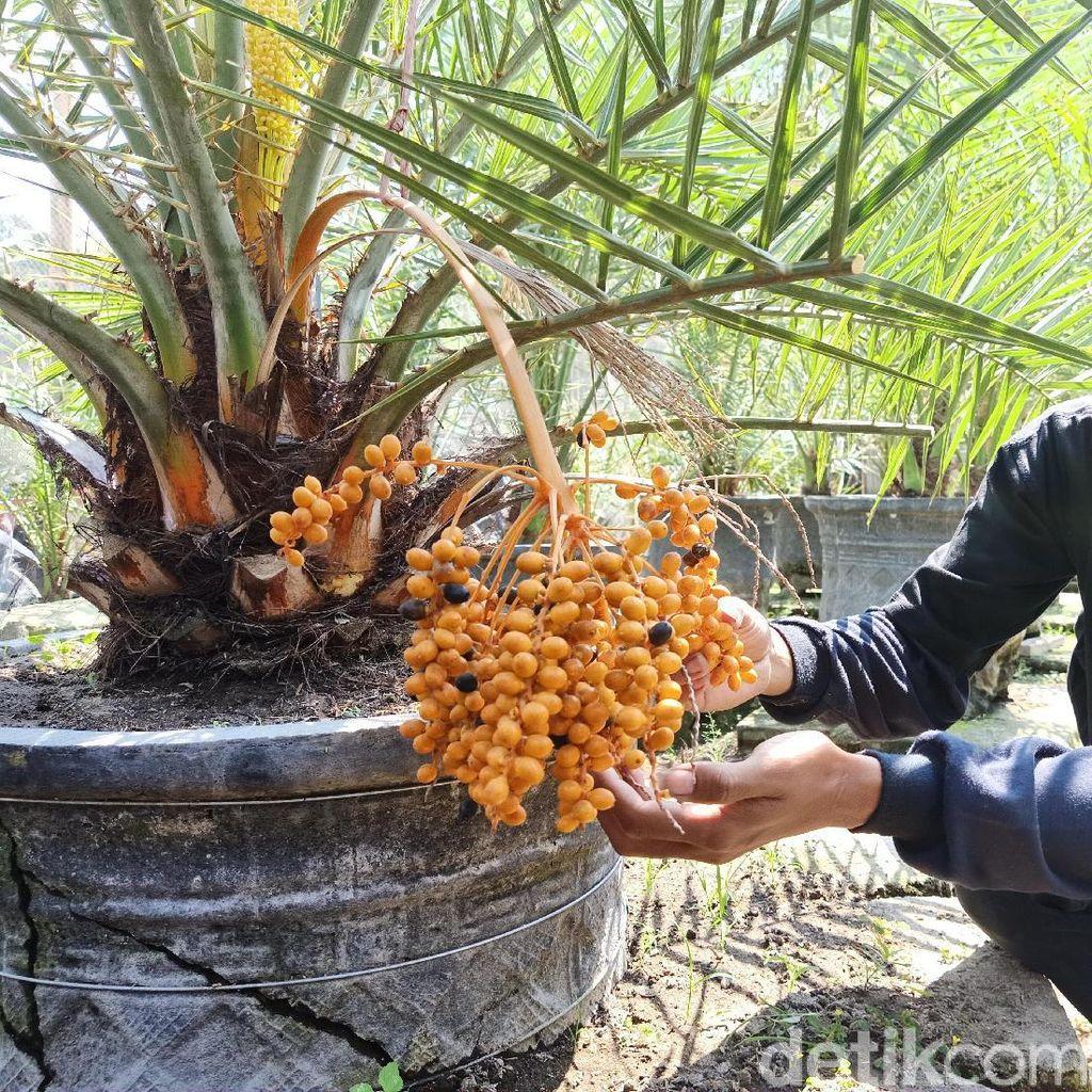Kurma Nusantara yang Berbuah di Kediri Bikin Penasaran Petani