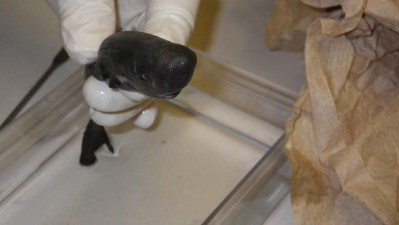 Penampakan Hiu Mini Spesies Baru yang Bisa Menyala dalam Gelap