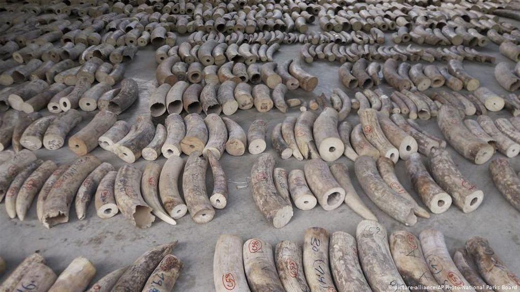 Rekor! Singapura Gagalkan Penyelundupan 8,8 Ton Gading Gajah Afrika