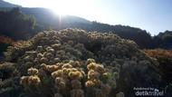 Hamparan Padang Edelweiss Menawan di Gunung Papandayan