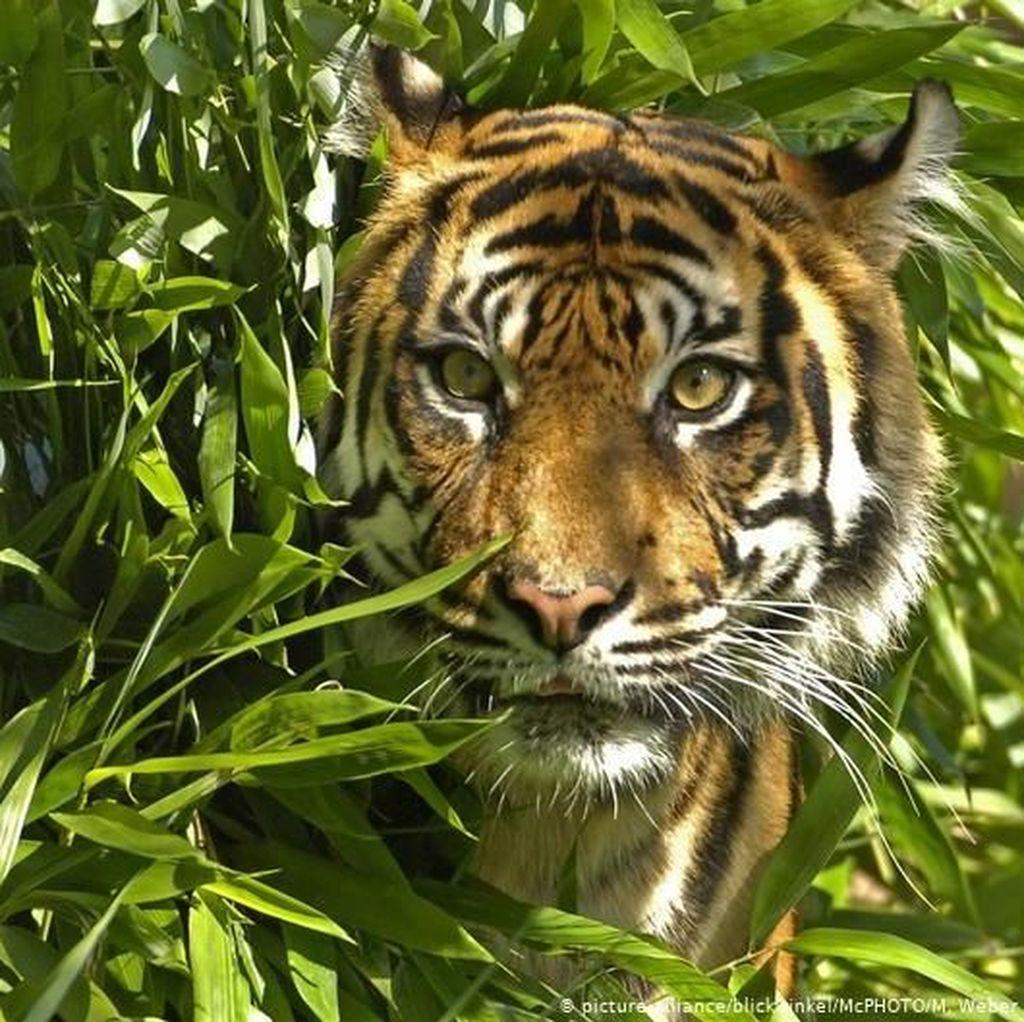 Harimau Ramah yang Berkeliaran di Terengganu Malaysia Mati karena Sakit