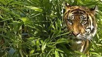 Warga Lahat Tewas Diterkam karena Rusak Habitat Harimau
