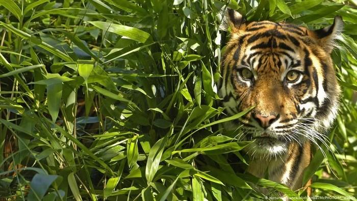 Ilustrasi Harimau (Foto: DW News)
