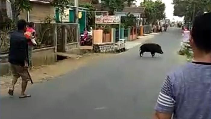 Warga mengepung dan mengusir seekor babi hutan. (Foto: istimewa)