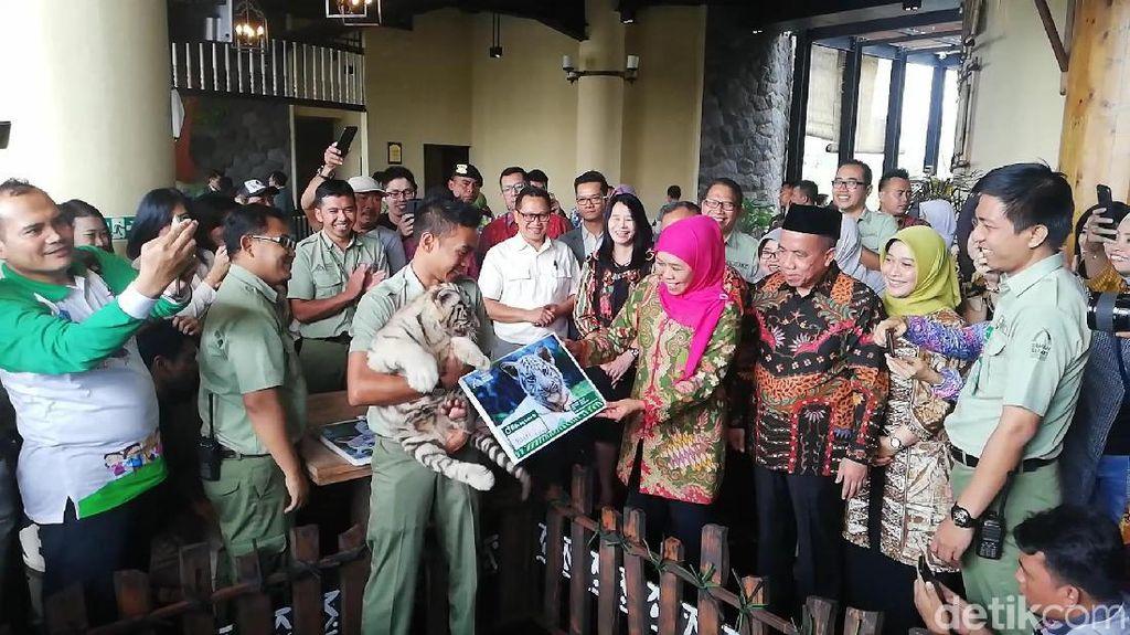 Gubernur Khofifah Beri Nama 3 Bayi Harimau Benggala Putih Taman Safari Prigen